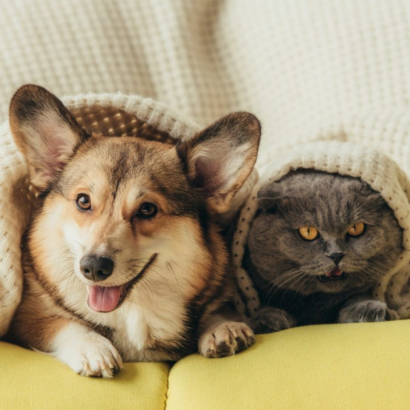 funny pets lying together under plaid on sofa